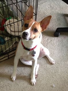 Foxy Russell (Jack Russell Terrier x Toy Fox Terrier mix) Jack Terrier, Rat Terrier Dogs, Terrier Breeds, Boston Terrier Dog, Dog Breeds, Jack Russell Chihuahua Mix, Jack Russell Dogs, Jack Russell Terrier, Toy Fox Terrier Puppies