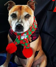 Sensitizing Puppies to Touch Smell and Taste I feel it's important to look your best in all seasons so today I added a scarf for a bit of festive fun. Puppy Pens, Whelping Box, Tactile Stimulation, Newborn Puppies, Soft Spoken, Bird Wings, Staffordshire Bull Terrier, Dog Park, Family Dogs