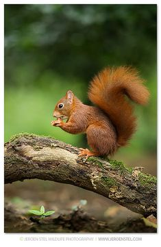We have Red Squirrel-Sciurus vulgaris. This pint sized little fellow is very obnoxious, aggressive and high destructive. They are a real pain in ass if you have them in your yard. Try to get rid of them - impossible. Woodland Creatures, Woodland Animals, Nature Animals, Animals And Pets, Squirrel Pictures, Animal Pictures, Cute Pictures, Beautiful Pictures, Cute Squirrel