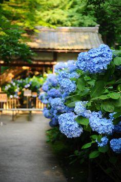-明月院 Hydrangea in Japan Hortensia Hydrangea, Hydrangea Macrophylla, Blue Hydrangea, Flowers Nature, Blue Flowers, Beautiful Gardens, Beautiful Flowers, Peonies And Hydrangeas, Blossom Garden
