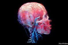 Cráneo humano preservado. Exposición de New Cruelty, encargado por True Entertainment. #PsicoWisdom