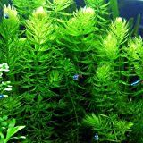 Pond Oxygenating Hornwort Bunch Plants IMPORTANT: Please note that during times of extreme weather, live plants will suffer due to extreme temperatures. Live Aquarium Plants, Pond Plants, Dry Plants, Tall Plants, Aquatic Plants, Planted Aquarium, Live Plants, Garden Plants, Pond Algae