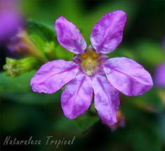 La planta Cufea o Trueno de venus, Cuphea hyssopifolia