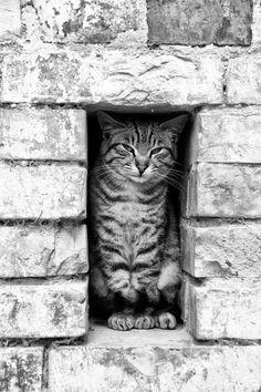 maya47000:  Cat In the Wall by Vincenzo Iacovoni