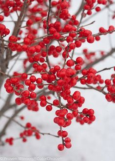 Ideal for gardeners who want bright winter color and fruit for cutting but dont have a ton of room. http://shop.pallensmith.com/the-nursery/ilex-berry-poppins-winterberry/