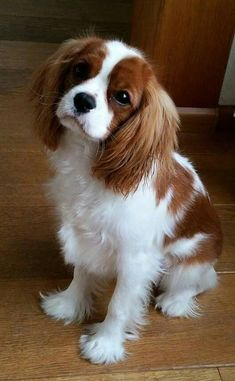 We warn you once again: You should NOT get a Cavalier King Charles Spaniel. Source by FranceSiBelle The post We warn you once again: You should NOT get a Cavalier King Charles Spaniel. appeared first on Gwen Howarth Dogs. Sweet Dogs, Cute Baby Dogs, Cute Dogs And Puppies, Cute Baby Animals, Doggies, Corgi Puppies, Adorable Puppies, King Charles Puppy, Cavalier King Charles Dog