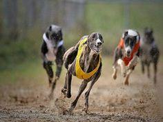 Dog Poses, Grey Hound Dog, Animal Wallpaper, Goats, Racing, Greyhounds, Animals, Image, Detail