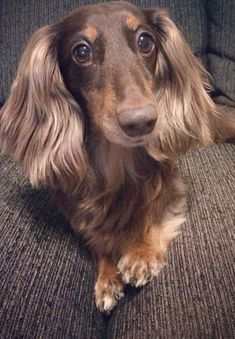 Everyone says I have pretty ears...what do you think? #Dachshund