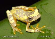 Hourglass Tree Frog - I would like to have these!
