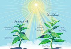 Crean una fotosíntesis «turbo» para producir más comida