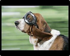 Basset Hound wearing goggles