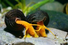 ... keep my tank clean. Now I can. Thanks to two helpers. My snail pals