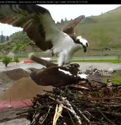 Stanley and Iris, the osprey couple, twitterpated !