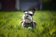 10 Gentlemanly Facts About the Miniature Schnauzer