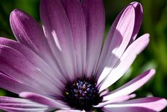 Pink Sunscape Daisy