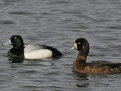 Greater Scaup - Male and Female