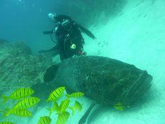 Goliath Sea Bass at Cano Island