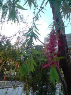 Escova de Garrafa (Callistemon viminalis(Sol. ex Gaertn.) G.Don)