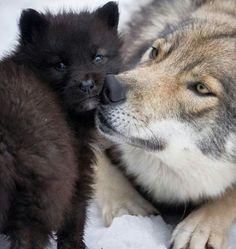 Wolf Photos, Wolf Pictures, Animal Pictures, Wolf Spirit, Spirit Animal, Beautiful Wolves, Animals Beautiful, Tier Wolf, Wolf Hybrid