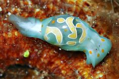 The Bubble Snail        This nudibranch is called Haminoea cymbalum