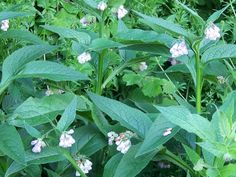 Comfrey, sometimes called knitbone has been used traditionally for broken bones and aching joints.