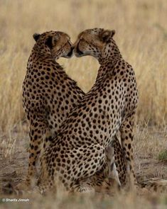 """Green Pepper on Twitter: """"💛… """" Big Cats, Cats And Kittens, Cute Cats, Siamese Cats, Cute Baby Animals, Animals And Pets, Funny Animals, Animals Kissing, Wild Animals"""