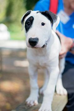 Dog Mixes, Mixed Breed, Puppy Love, Pitbulls, Puppies, Animals, Amazing Dogs, Bull Terriers, Dog Breeds