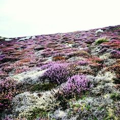 I remember walking through fields of heather in Ireland. Laying down in it, so thick like a mattress, and looking at the sky