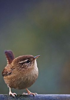 Wren – Troglodytes troglodytes – Wren - Top Of The World Cute Birds, Pretty Birds, Small Birds, Little Birds, Colorful Birds, Beautiful Birds, Animals Beautiful, Cute Animals, Exotic Birds