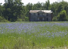 Huge, Old Abandoned house set in field of blue flowers. Located on Wheelers Church Rd, off NC-49N, Caswell county, North Carolina