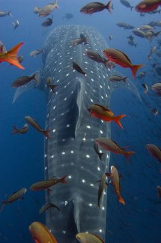 Whale Shark Rhincodon Typus Swimming by Pete Oxford