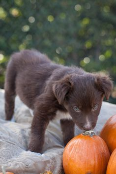 This cutie pie is a border collie mix, 8 weeks old. She is sweet and loving, very playful and energetic, happy, loves everybody. Good with kids and other animals. Looking for a family to call her own.Adoption fee is $385 (covers spay/neuter, shots,...