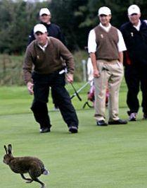 A rabbit interrupts US Ryder Cup golfers.