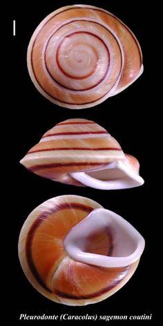 terrestrial snails -- Pleurodonte (Caracolus) sagemon coutini Clench et Aguayo, 1951