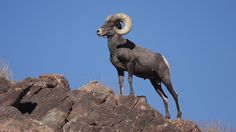 New Proposal Could Protect Public Lands in the California Desert. Bighorn sheep are right at home in the desert mountains of southeastern California.