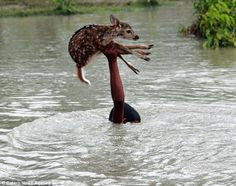 Young boy in Bangladesh saves a baby deer from drowning, at times submerging his head completely under water