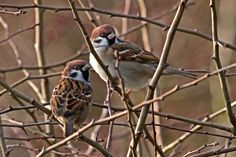 Some more Sparrows :)
