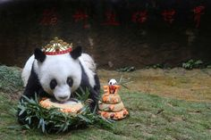 Basi, the oldest captive giant panda alive, eats a cake as people celebrate its 37 birthday, in Fuzhou, Fujian province, China, January 18, 2017. China Daily/via REUTERS ATTENTION EDITORS - THIS IMAGE WAS PROVIDED BY A THIRD PARTY. EDITORIAL USE ONLY. CHINA OUT. NO COMMERCIAL OR EDITORIAL SALES IN CHINA. via @AOL_Lifestyle Read more: http://www.aol.com/article/news/2017/01/18/basi-worlds-oldest-captive-panda-turns-37/21657443/?a_dgi=aolshare_pinterest#fullscreen