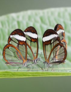 glasswing butterflies-part of their wings are transparent so they may easily blend in with their background