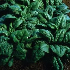 Tyee Hybrid spinach
