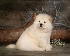 Image result for samoyed chow chow