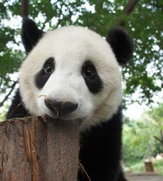 Er Xi at the Chengdu Giant Panda Base on September 24, 2011.