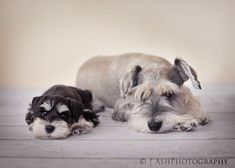 Bucket List: If I own a dog, that it be an all white Miniature Schnauzers, like in my dream.