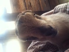 This is lucy our baby lamancha goat.