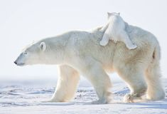 What do polar bears eat? In this article we are going to focus on the types of food that polar bears eat in the wild as well as in captivity. Vida Animal, Mundo Animal, Cute Baby Animals, Animals And Pets, Polar Bear Wallpaper, Save The Arctic, Cute Polar Bear, Baby Polar Bears, Bear Photos