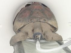 A team of top veterinarians from the Cornell University Veterinary Specialists in Stamford yesterday administered a human grade CT scan on Arizona, a 25-year-old, 300-pound rare Galapagos tortoise that lives in Pound Ridge.