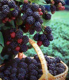 Picking wild blackberries at the barn.