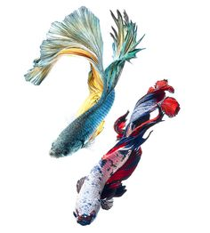 Stunning Portraits of Colorful Siamese Fighting Fish - My Modern Metropolis