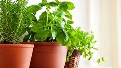 Plantes fines herbes intérieur