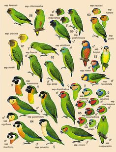 Fig Parrot   Plate 34 of Volume 4